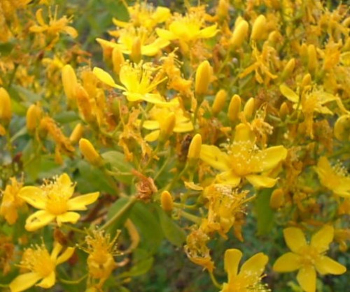 St John's Wort Photo by Steve Andrews