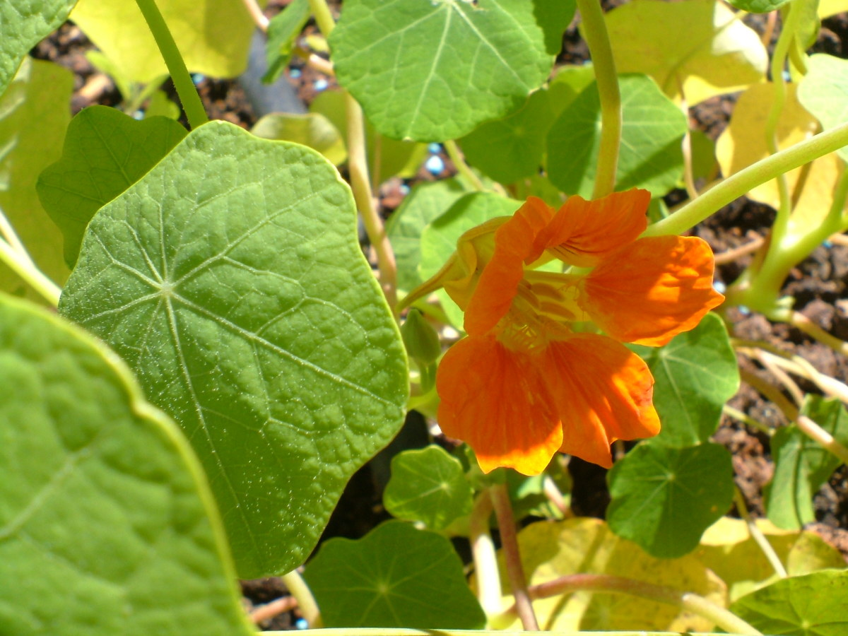 Nasturtium Photo by Steve Andrews