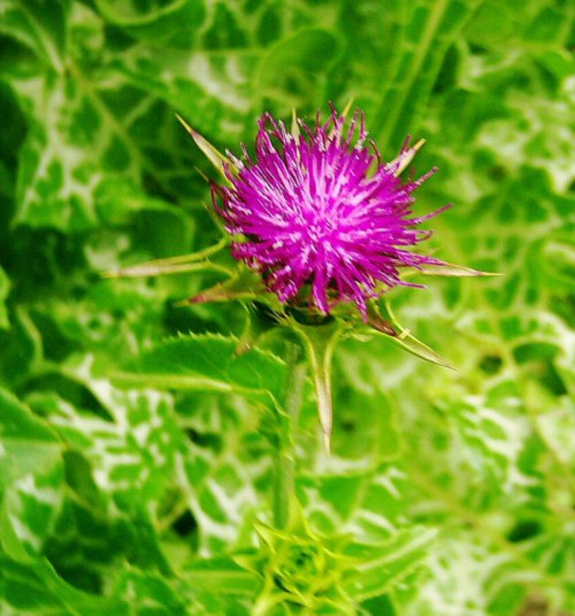 Milk Thistle Photo by Steve Andrews