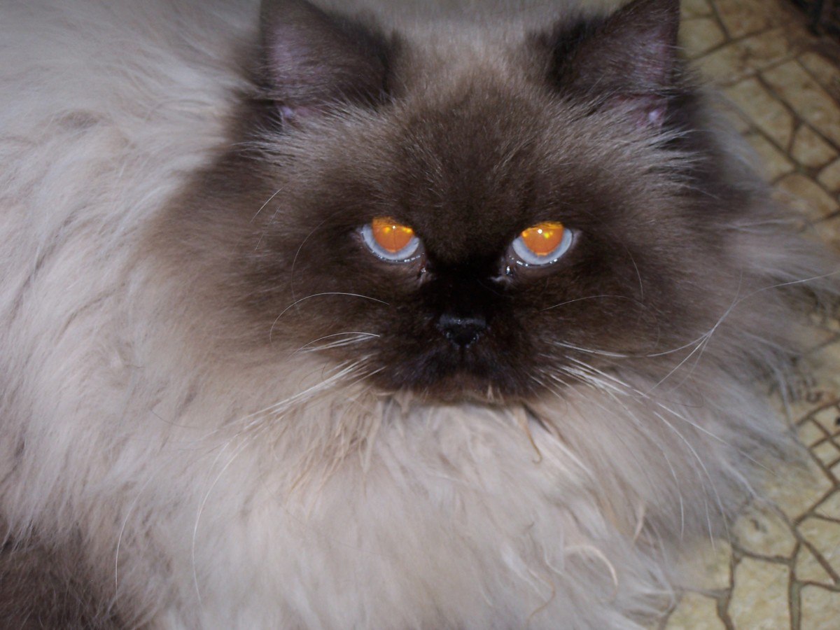 Ms. Frances was a registered pedigree with CFA.  It was planned for her to mate with Sir Cedrick, another registered Himalayan.