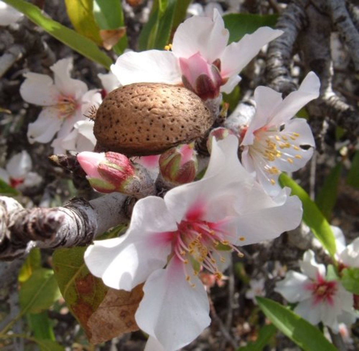 Almond blossom and nut