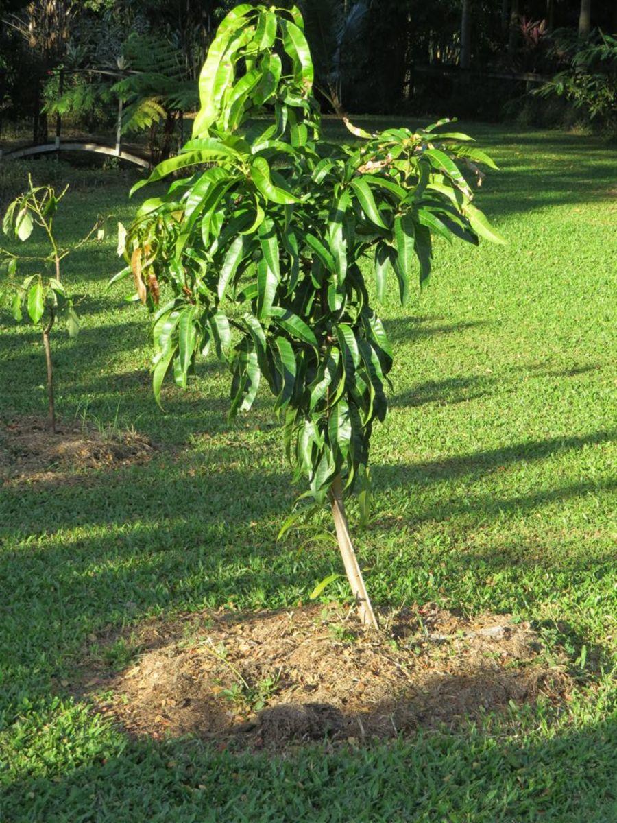 R2E2 Mango Tree, 2 years old