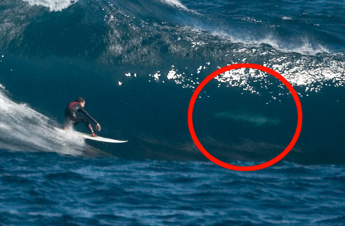 So, why is surfing classed as extreme sport ? A Great White has answered this