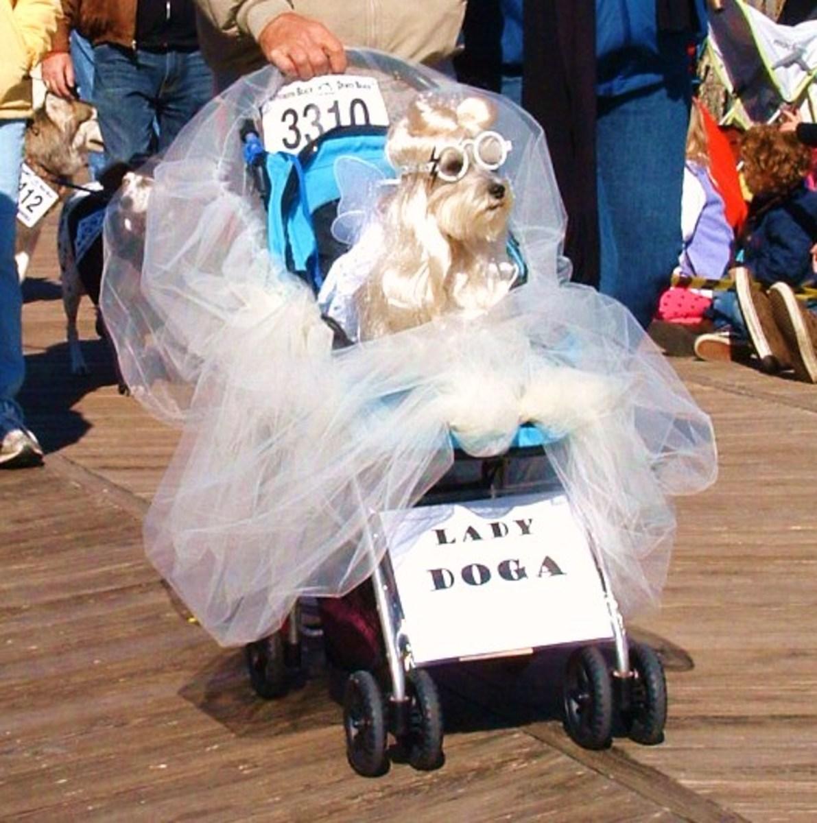 Dog in Lady Gaga costume in Pet Parade on Boardwalk.
