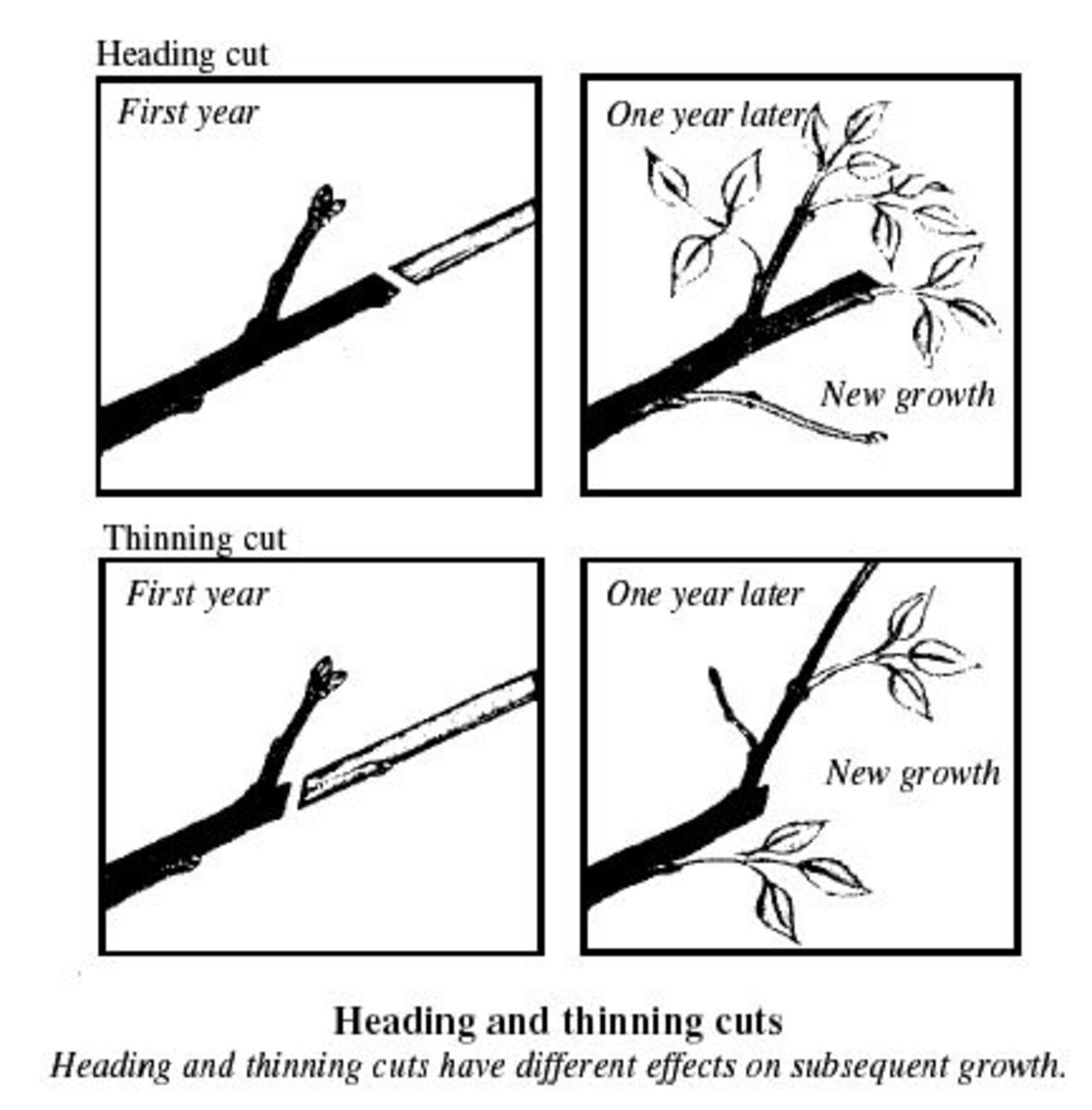 thinning and heading cuts compared