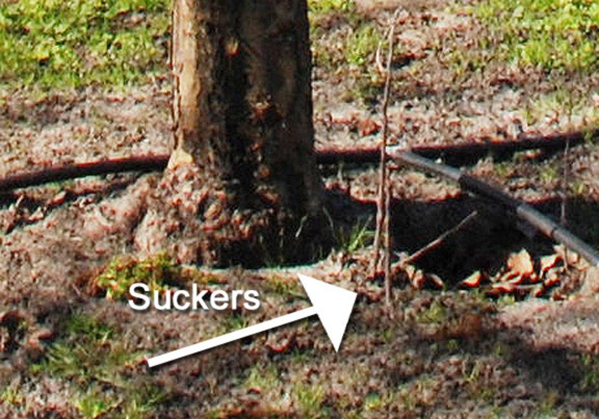 root suckers