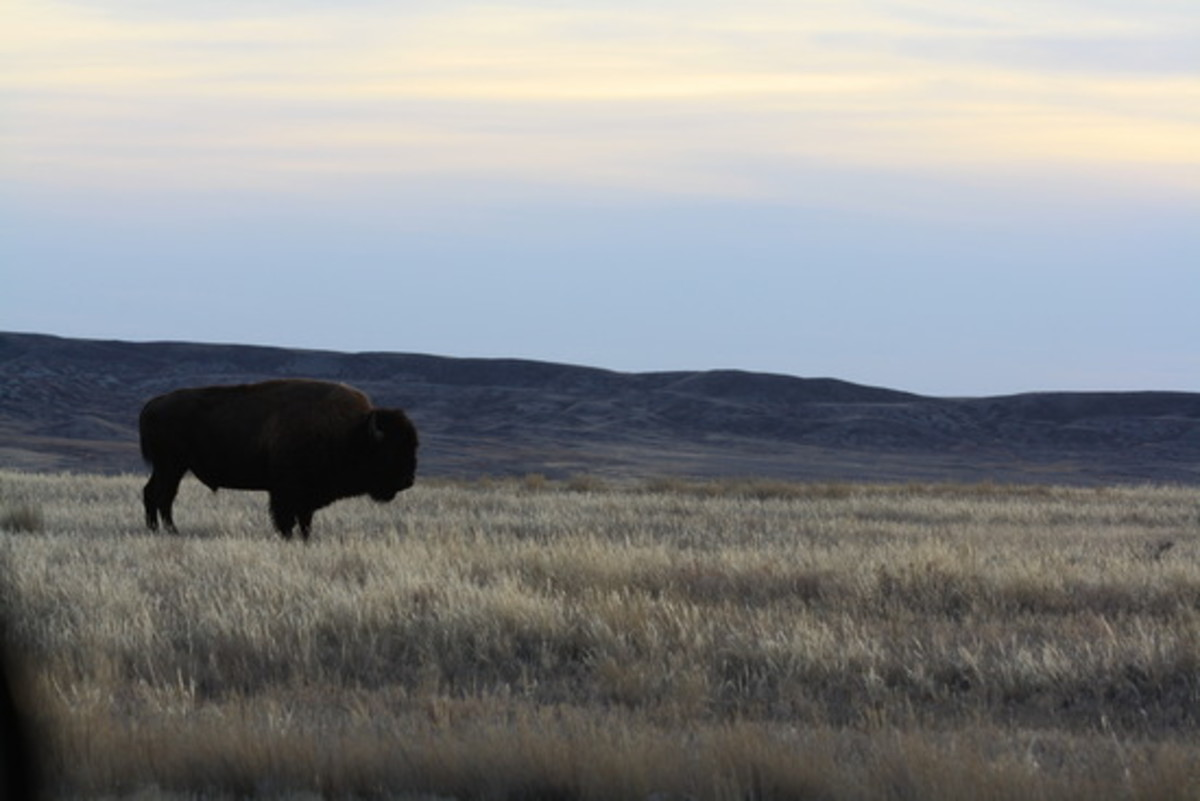 Canadian Prairie with Bison