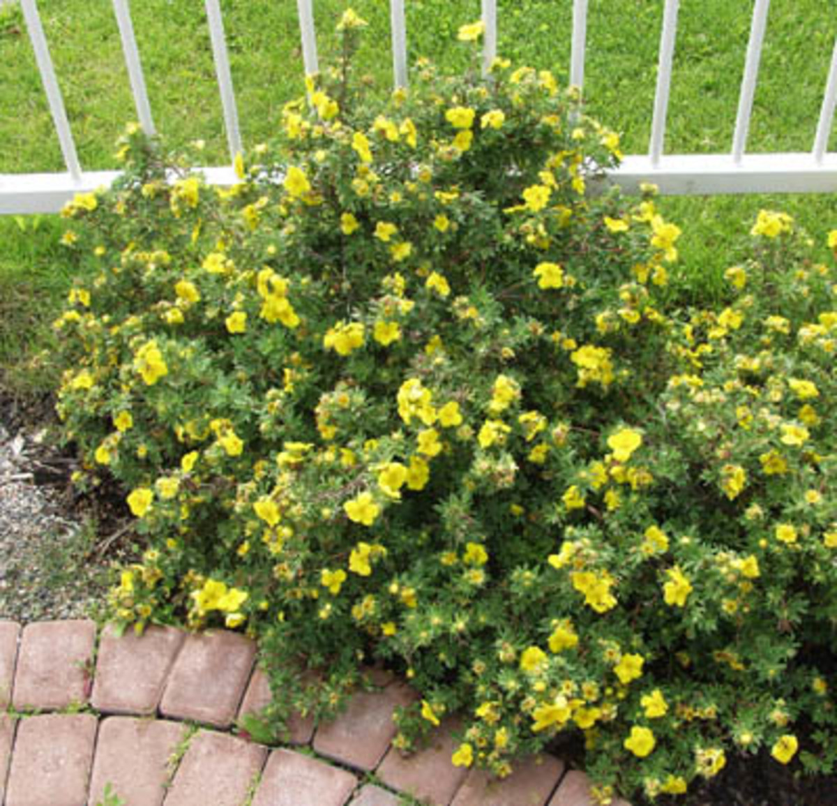 Potentilla Shrub in full bloom
