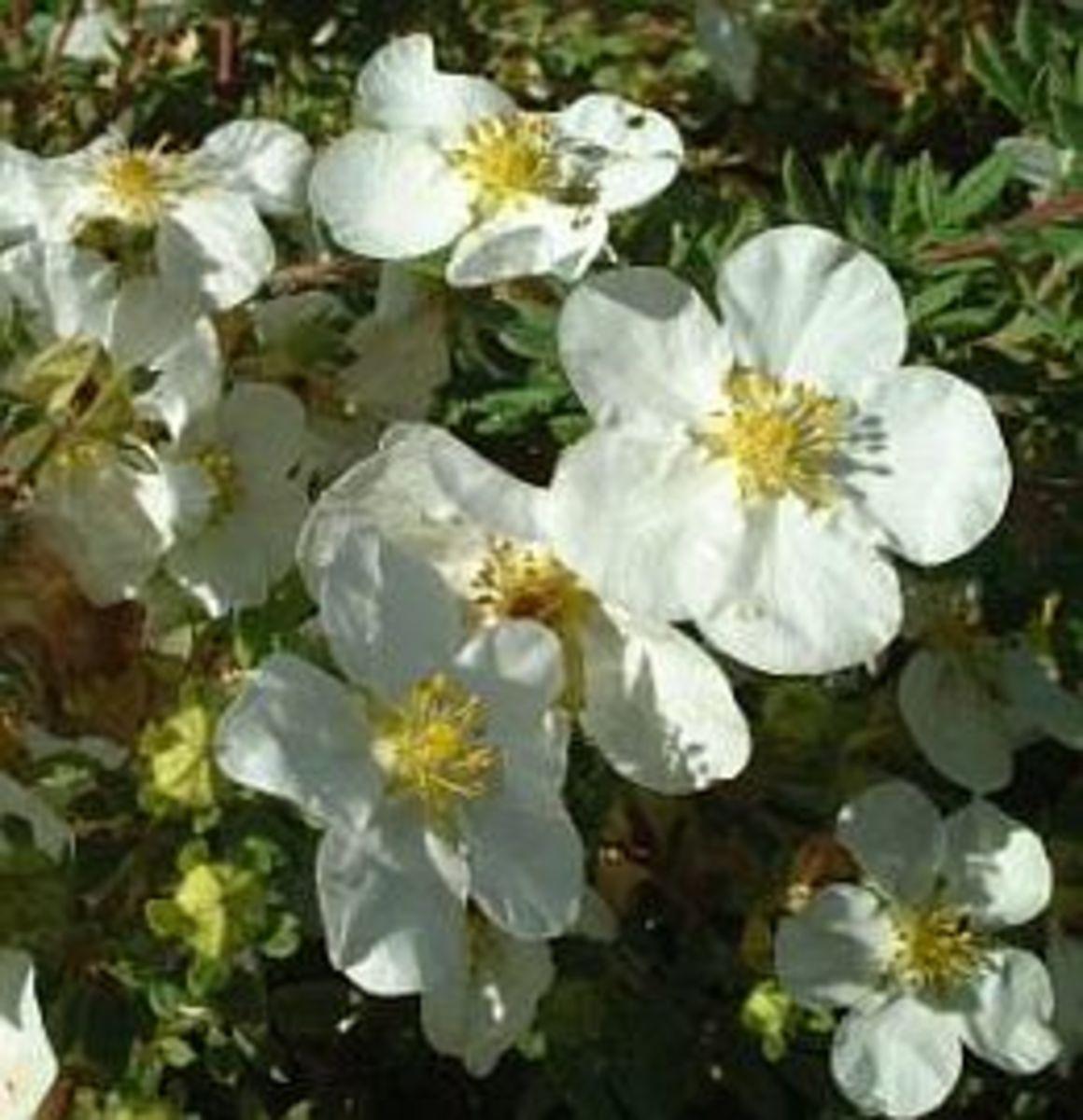 White Potenetilla Shrub