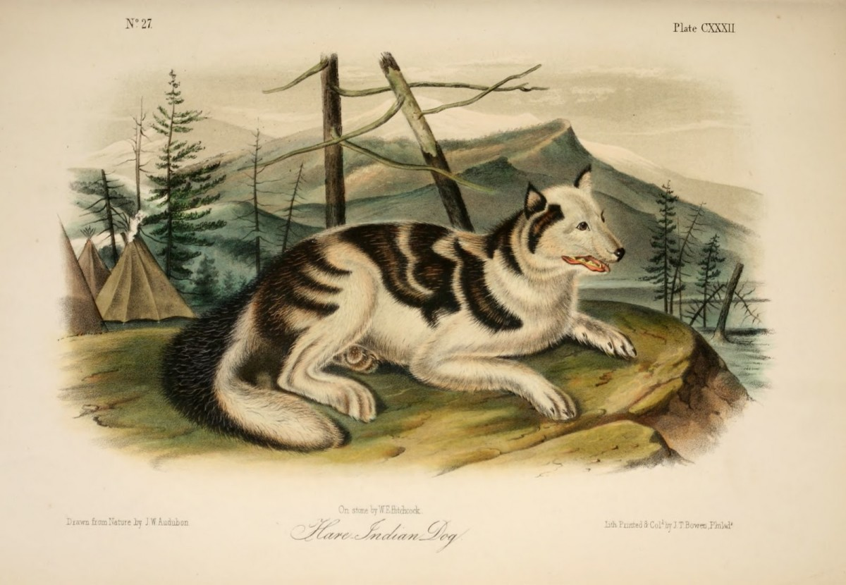 Hare Indian Dog: an Extinct Breed