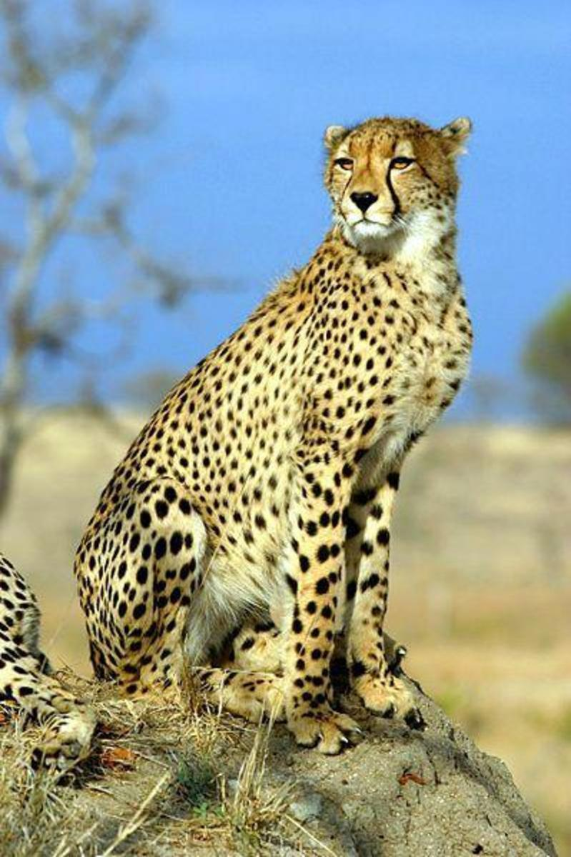 A cheetah is most beautiful. The fastest animal on land with speeds reaching 120 kilometers per hour. This cat can challenge the speeds of your old car. Image credit: James Temple - Wikimedia Commons.