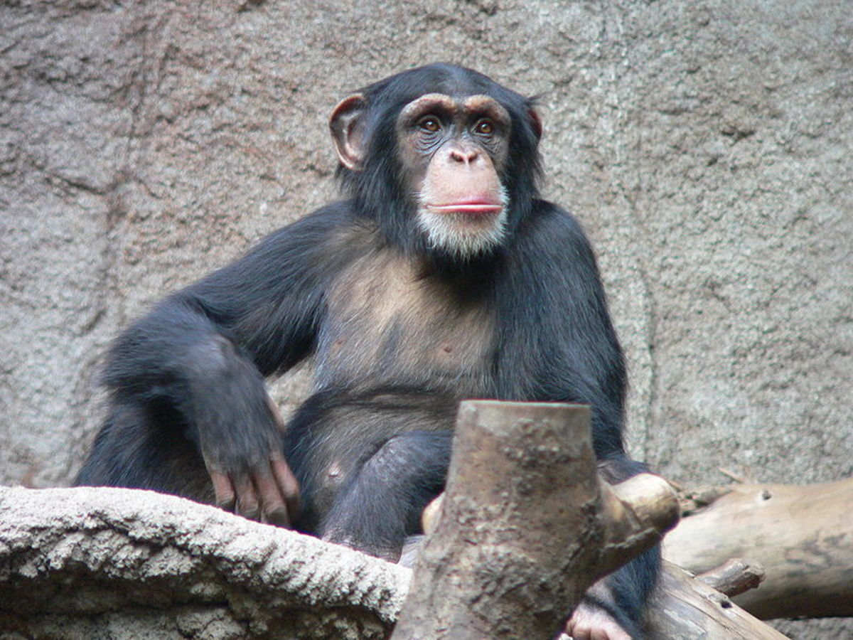 Worlds Most Beautiful Animal is Chimpanzee, like it or not. This guy is capable of planning what he will do tomorrow.  Image Credit: Thomas Lersch, Wikimedia Commons