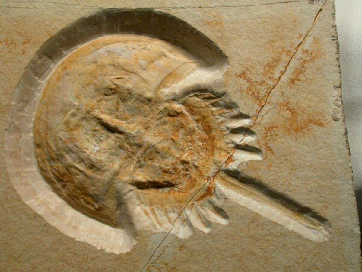 eating-horseshoe-crab