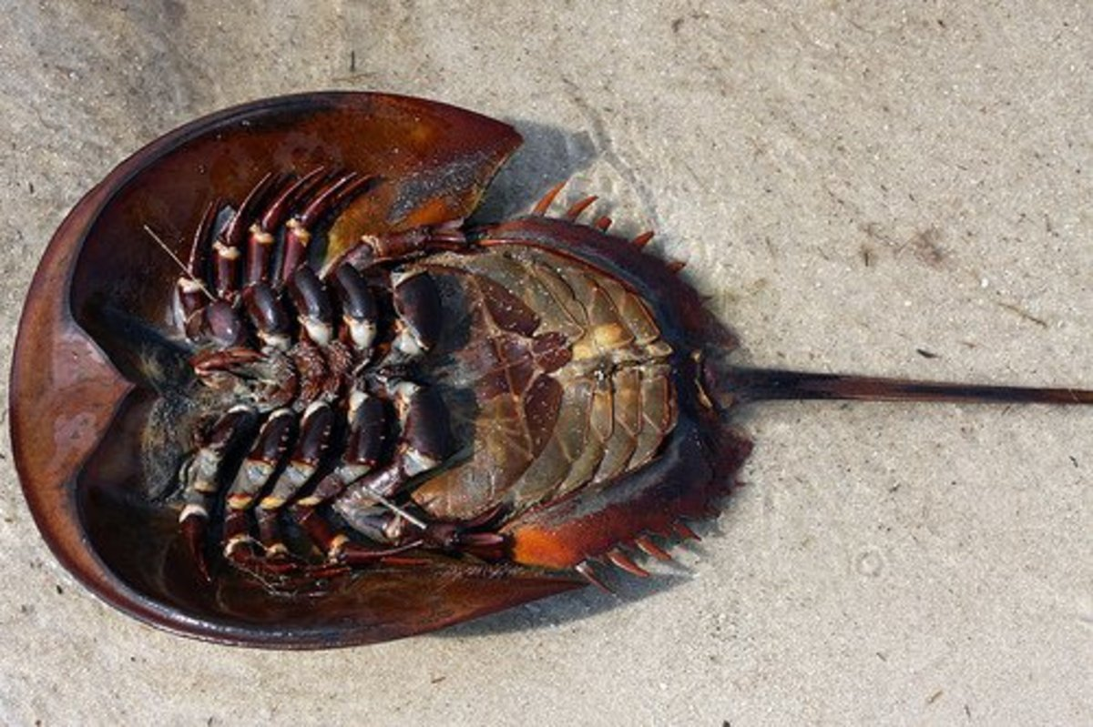 Horseshoe crab feeding - photo#10