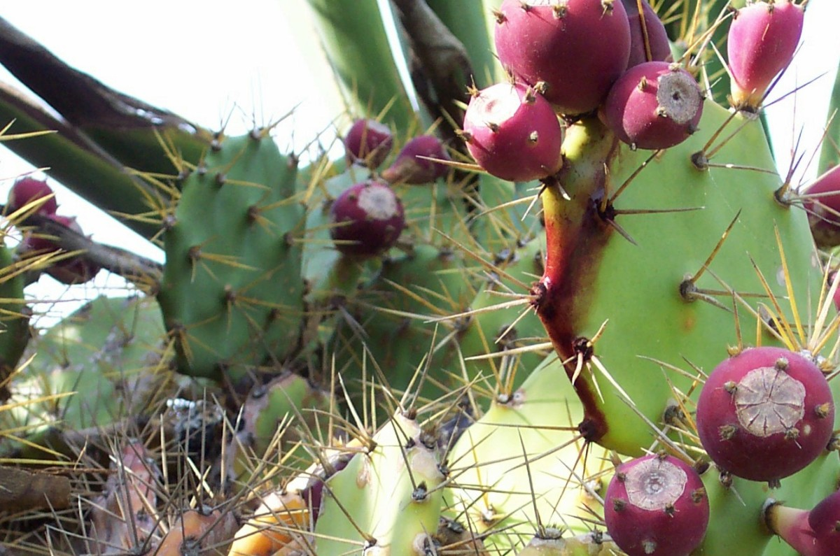 Prickly Pear cacti grow on Tenerife in the Canary Islands