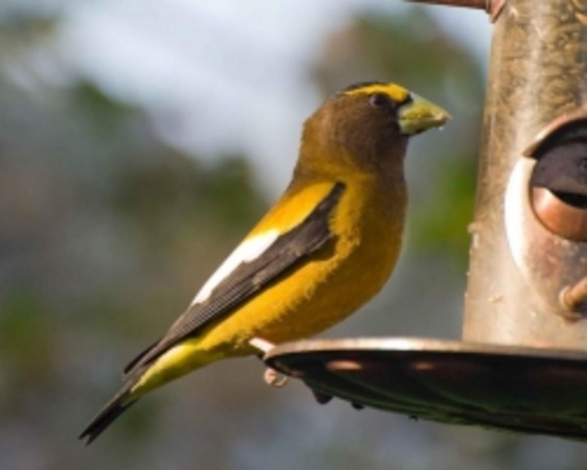 An evening grosbeak perches on a bird feeder