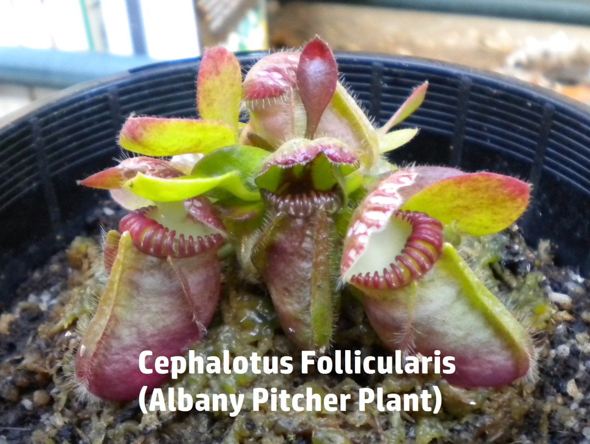 Cephalotus Follicularis (Albany Pitcher Plant), a Rare Carnivorous Plant
