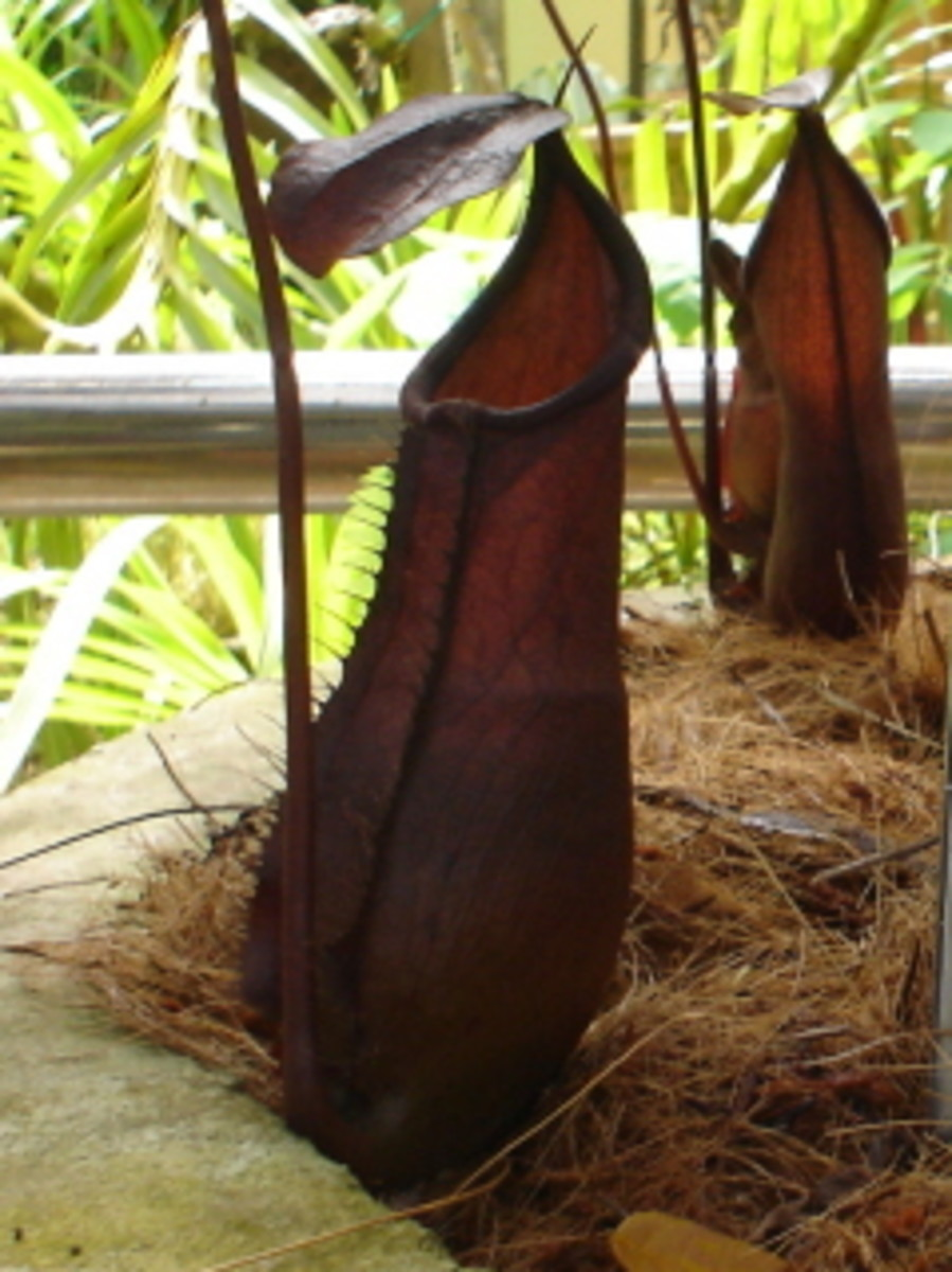 Beautiful colour of nepenthes longifolia