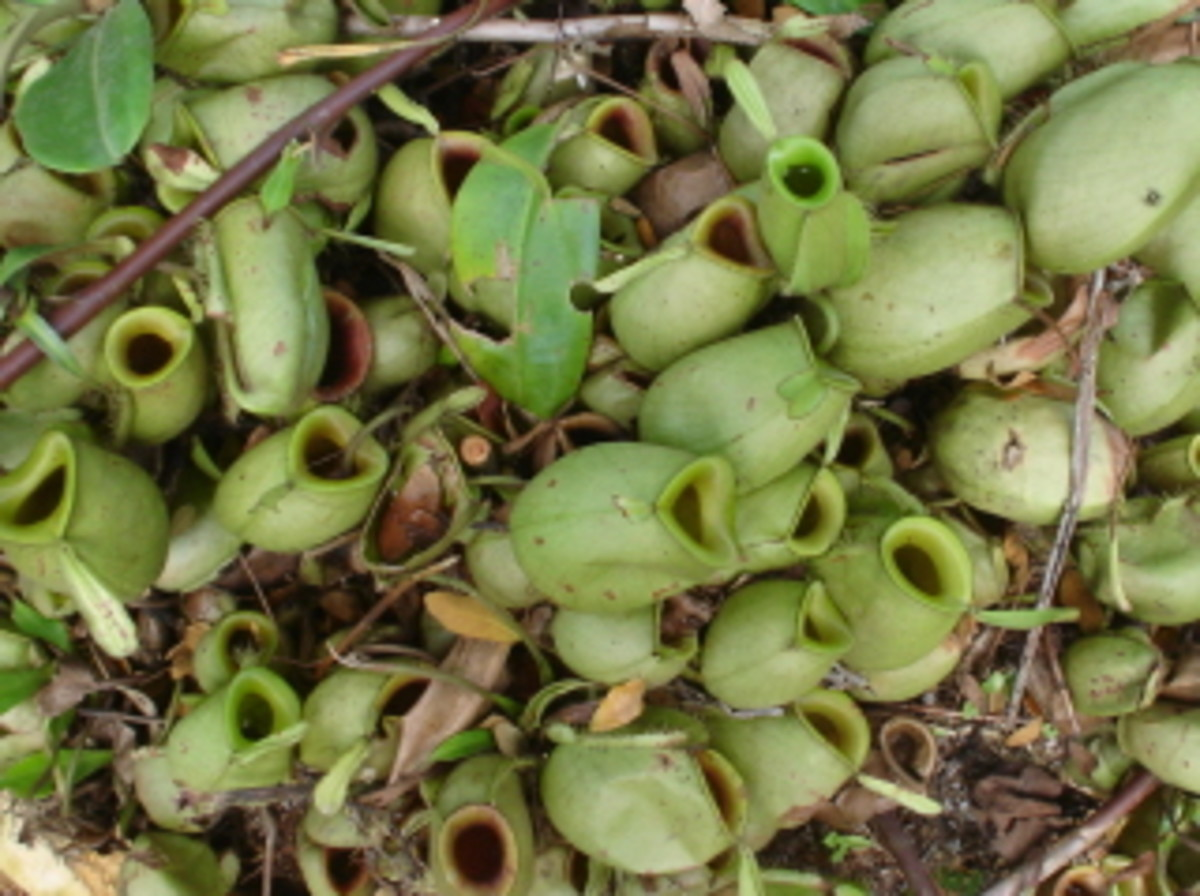 A cluster of pitchers - Nepenthes ampullaria