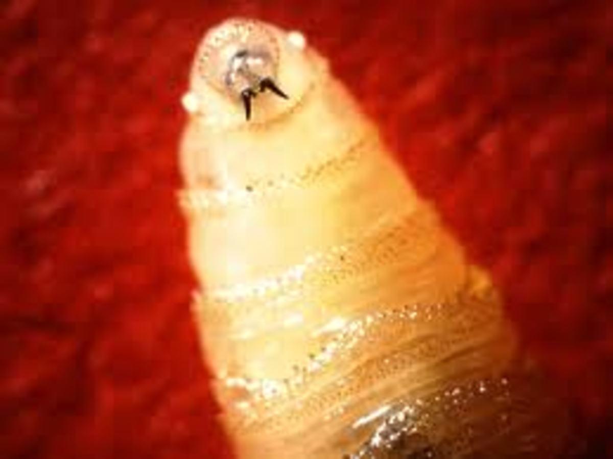 Screw Worm