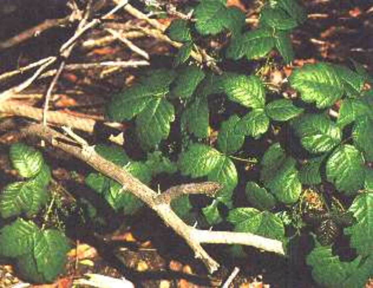 Poison Oak and Sumac Rash Reaction on Legs, Treatment, Pictures, and Symptoms
