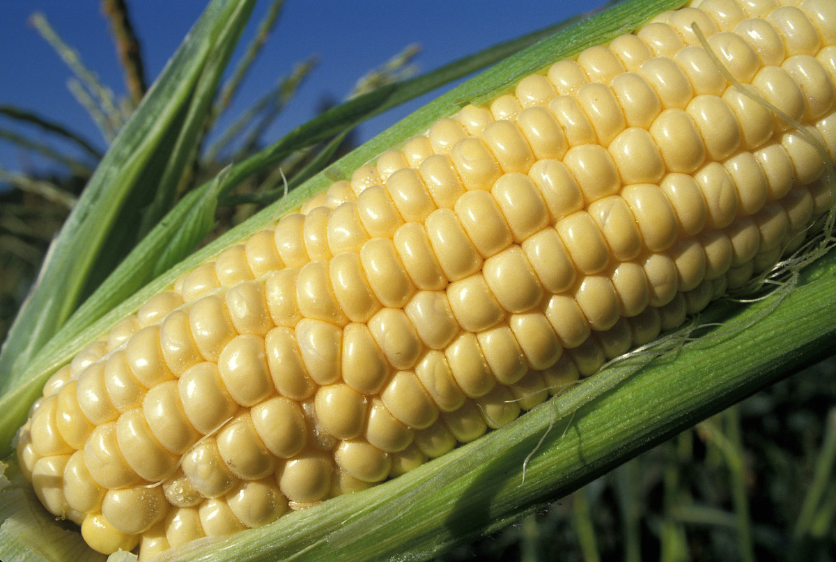 Sweet yellow corn on the cob.