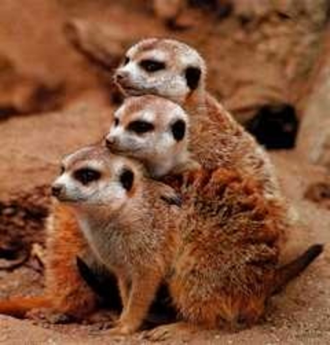 How Much Does A Meerkat Cost To Buy?  Prices & Living Expenses
