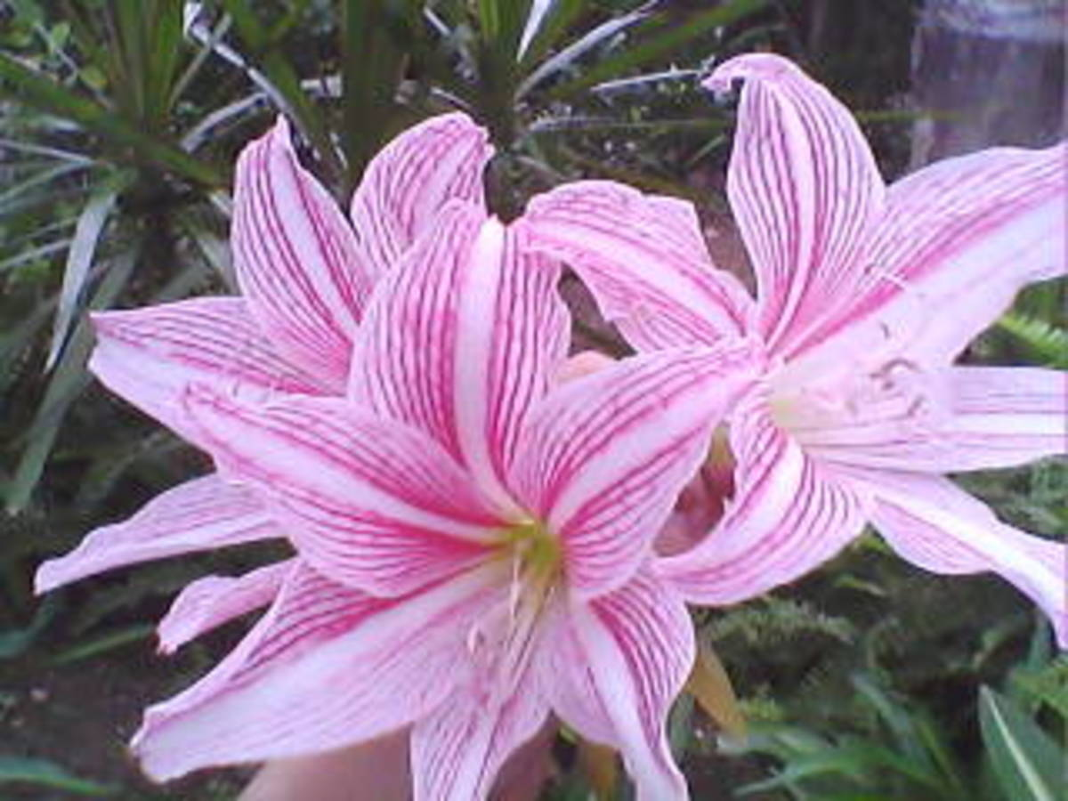 My Pink-Striped Trumpet Lily