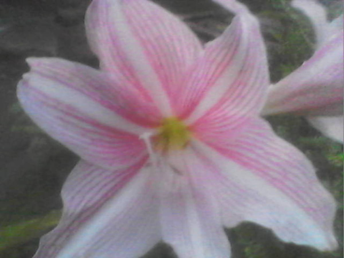 how-to-grow-pink-striped-trumpet-lily-or-crinum-latifolium