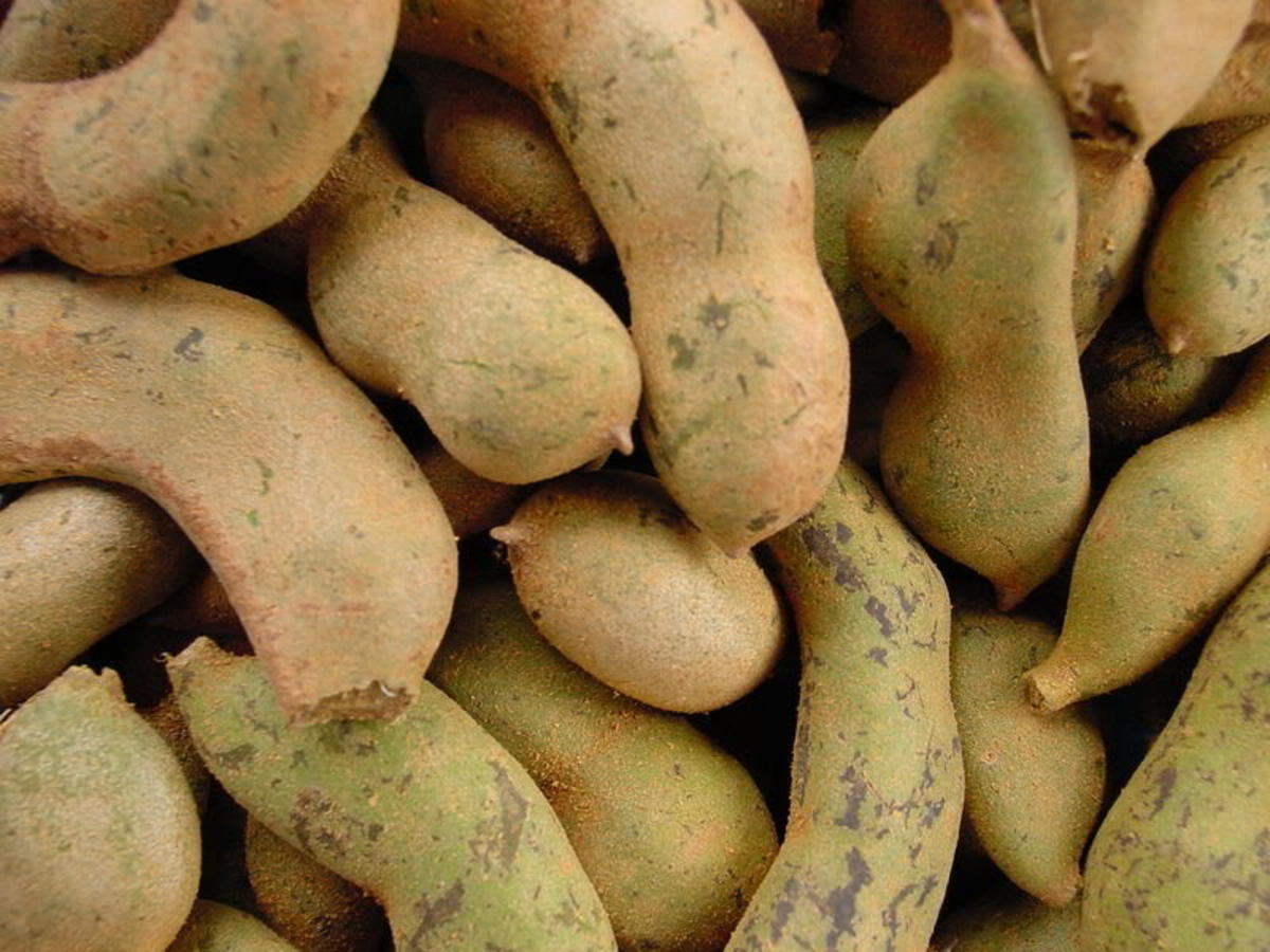 Unripe Tamarind or Hilaw na Sampalok (Photo Credit: coastalpolitan photobucket)