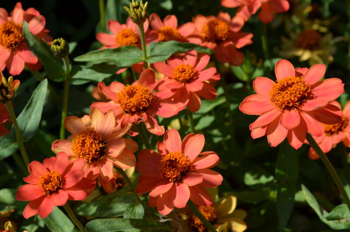 Coloring Pages Zinnia : Peach coral or salmon colored flower blooms a photo gallery