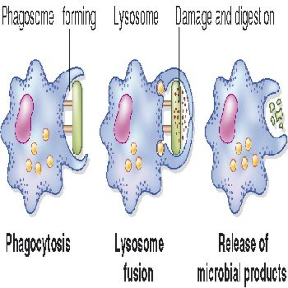 A diagram of phagocytosis in action.