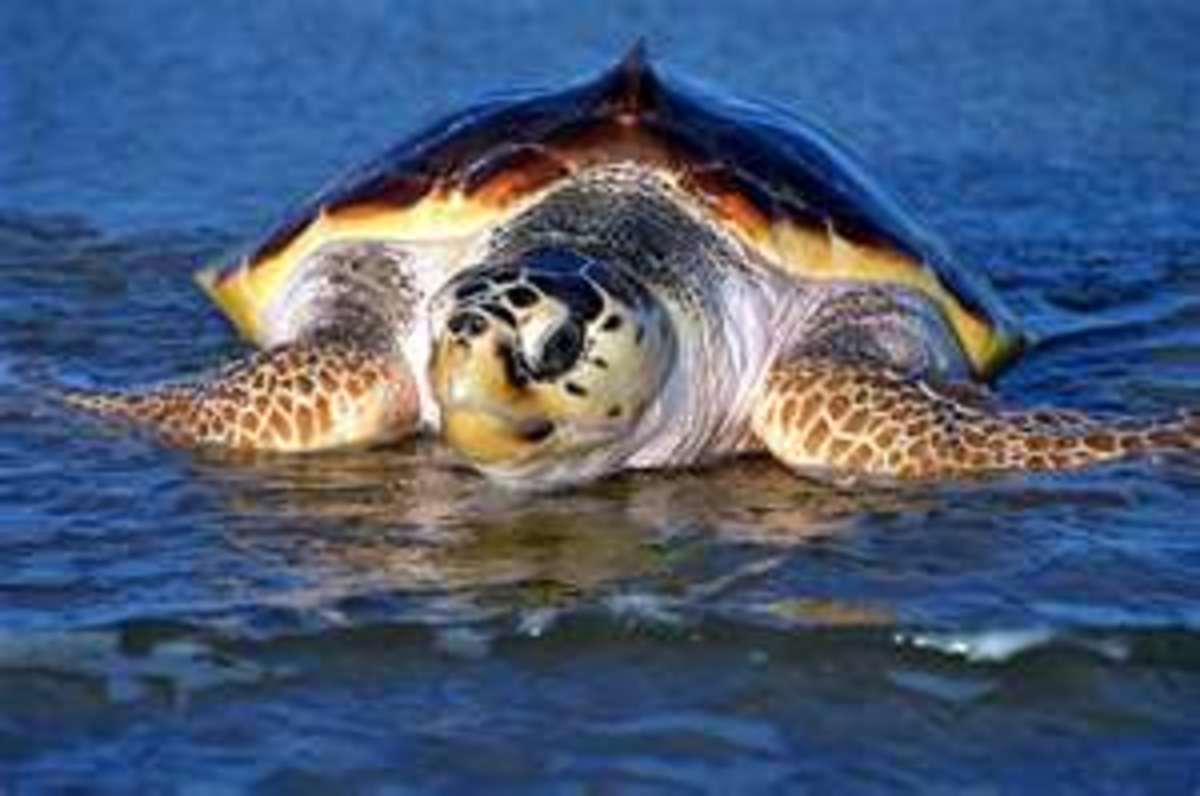 This Mama Loggerhead is coming onshore to lay her eggs in the sand.