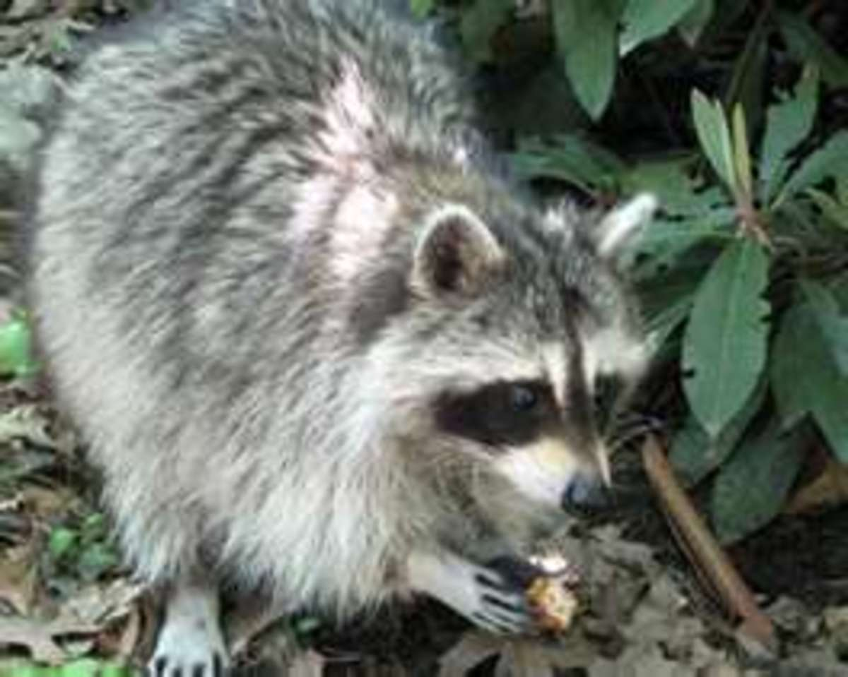 The Florida Raccoon.  Don't go near these because they could be rabid!
