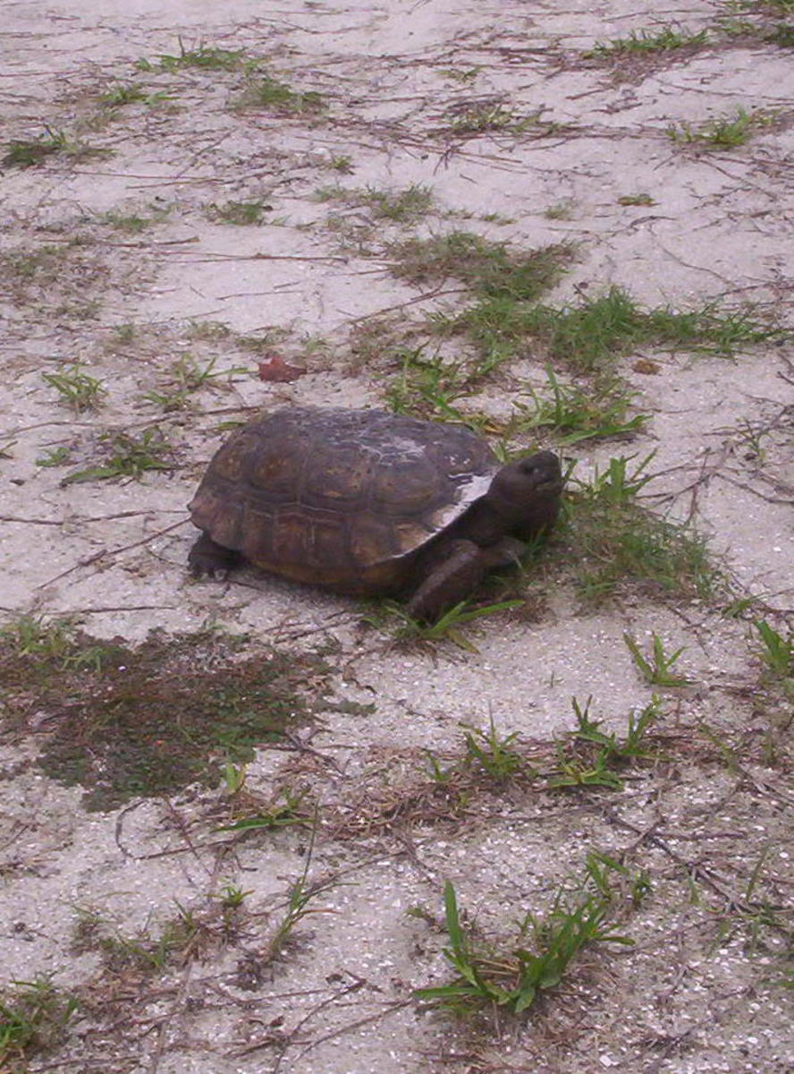 This big Gopher Turtle was making its way through my yard.