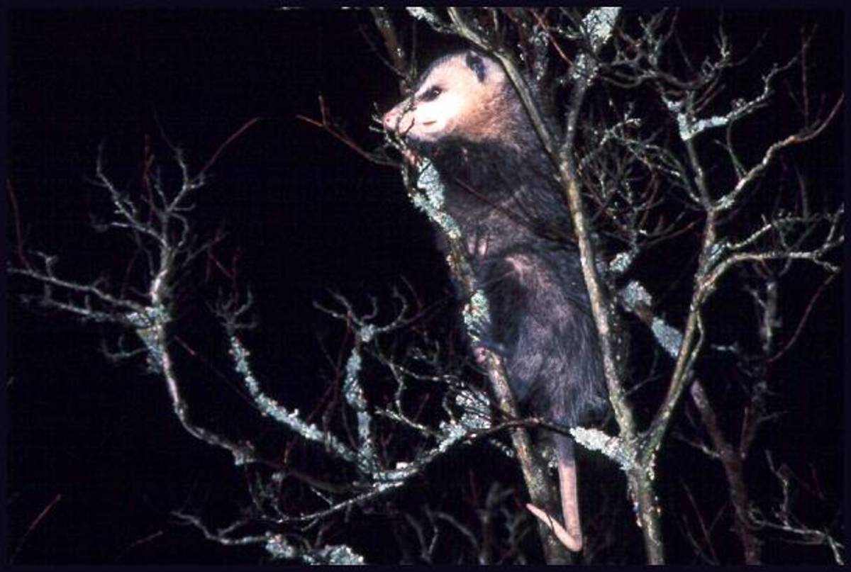 The Oppossum