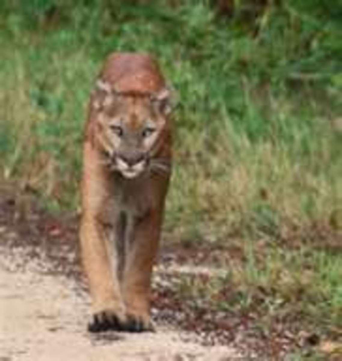 The Florida Panther.