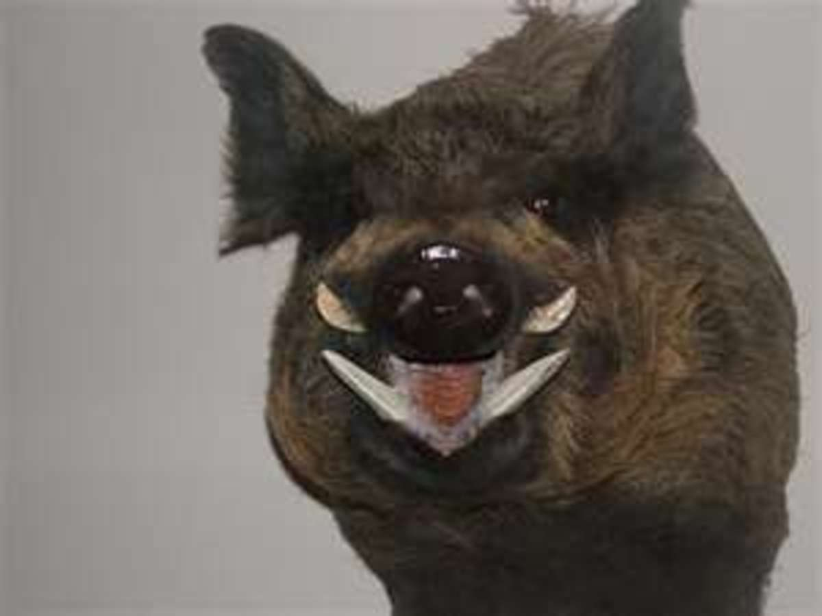 A Wild Boar.  I do NOT want to see one of these dangerous animals!