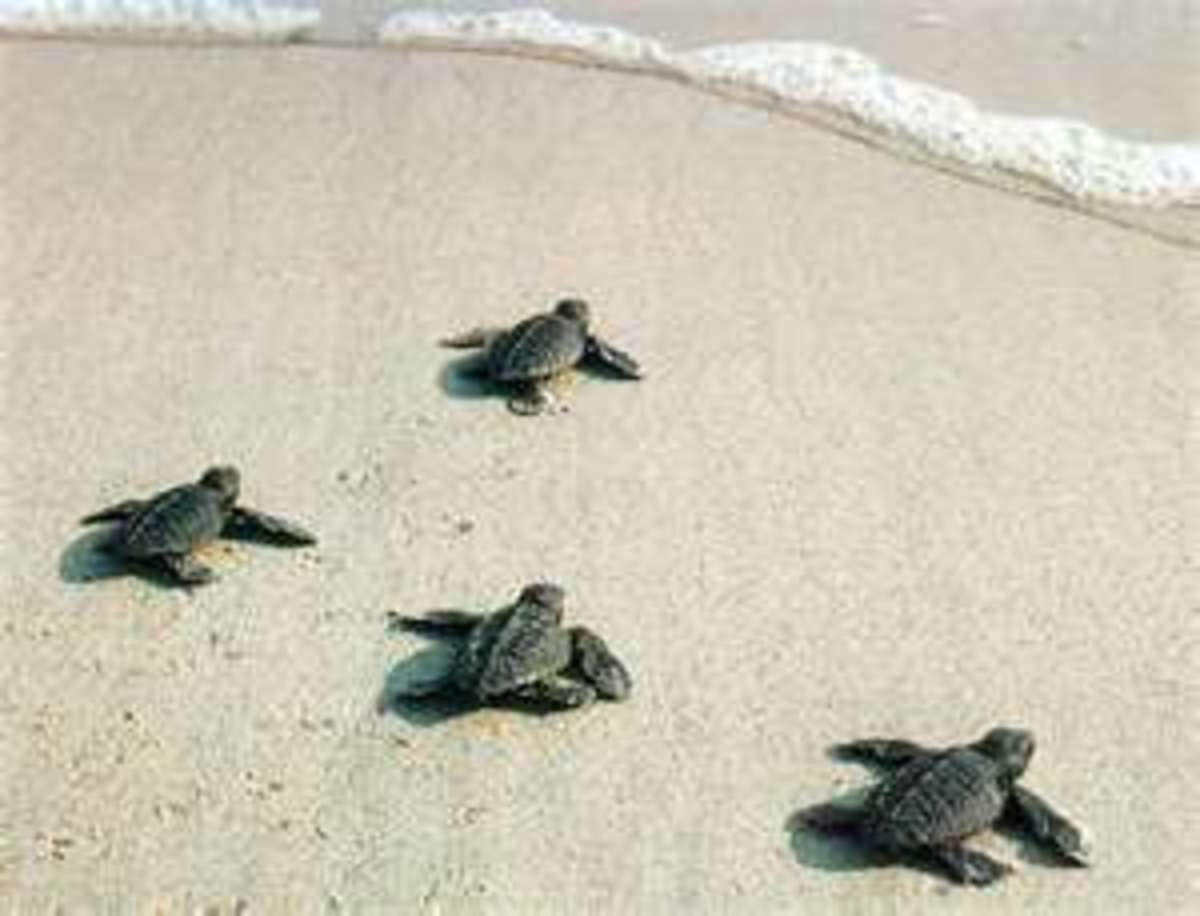 Only a small number of these baby Loggerhead Turtles will make it out to sea.