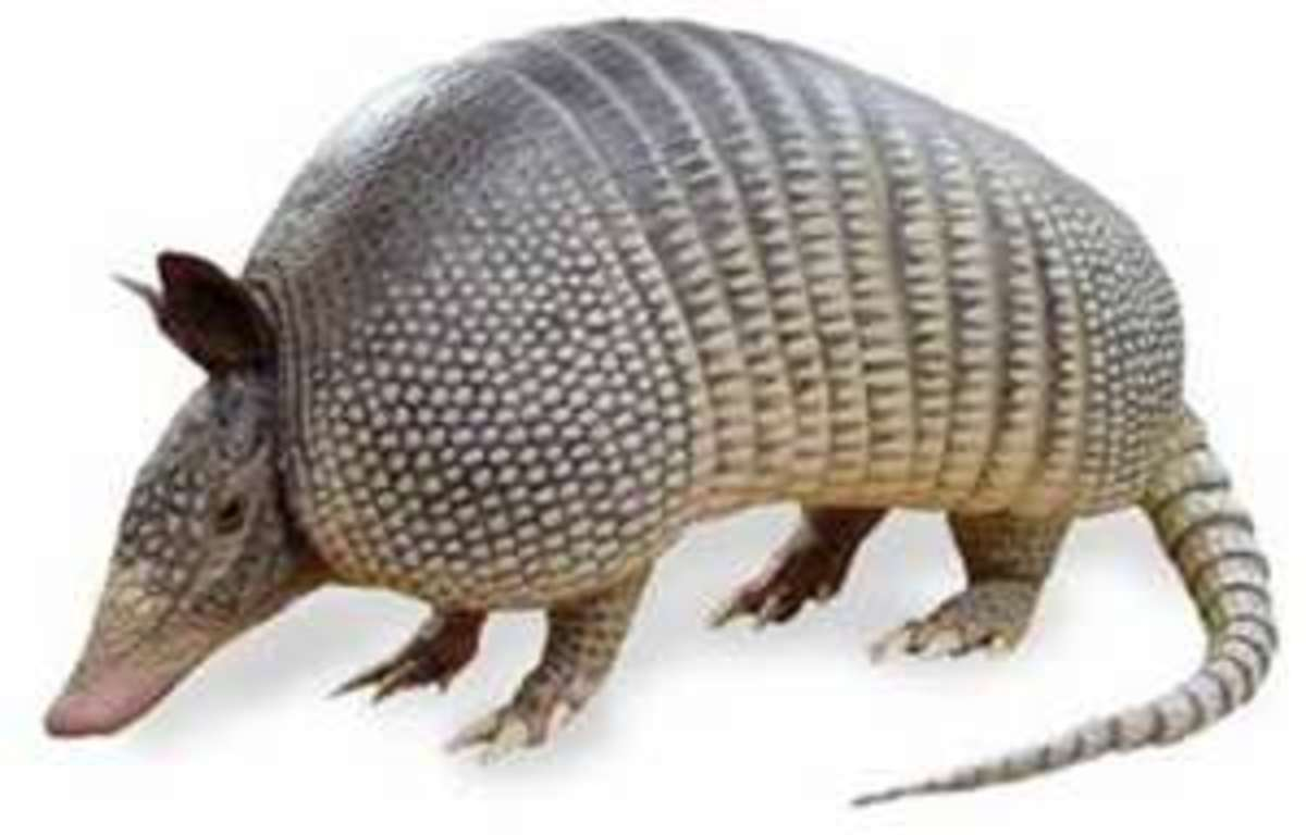 The Armadillo.  I think he is an ugly animal.