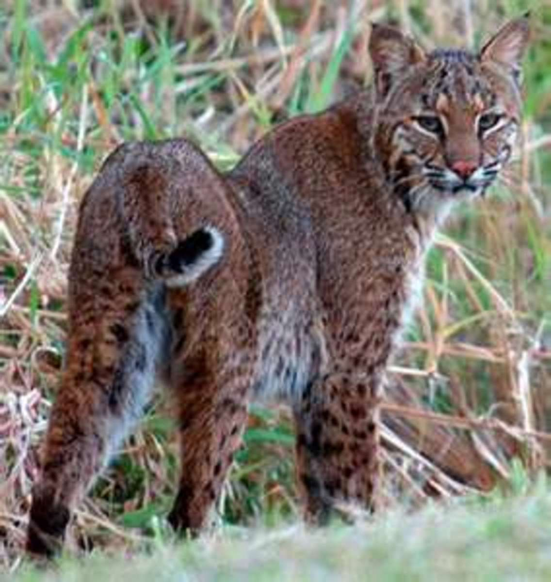 The Florida Bobcat