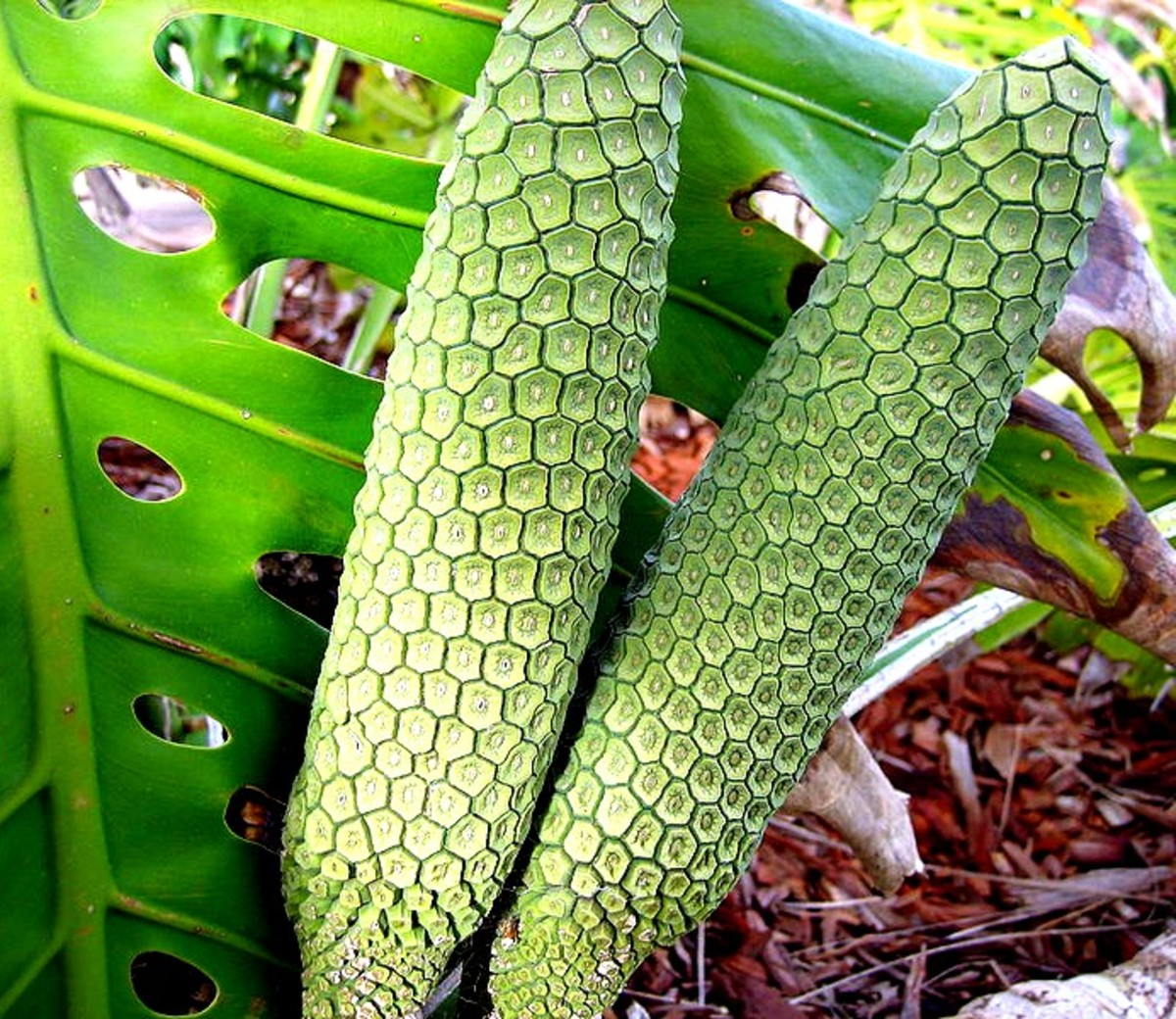 Monstera deliciosa, the delicious monster fruit that can kill you if eaten at the wrong time