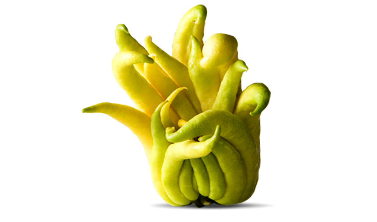 Buddha's Hand, an Asian citrus