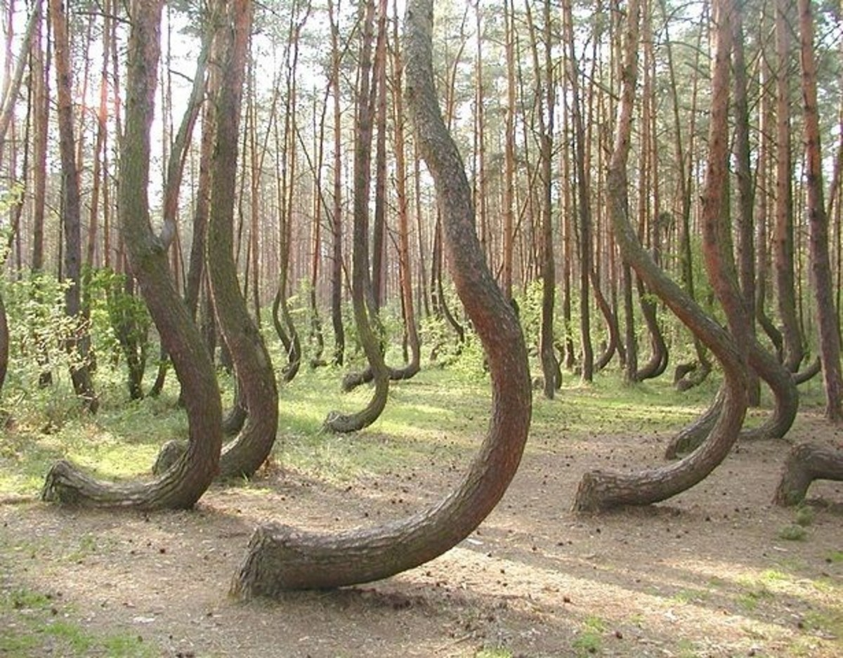 These trees grow in the forest near Gryfino, Poland. The cause of the curvature is unknown