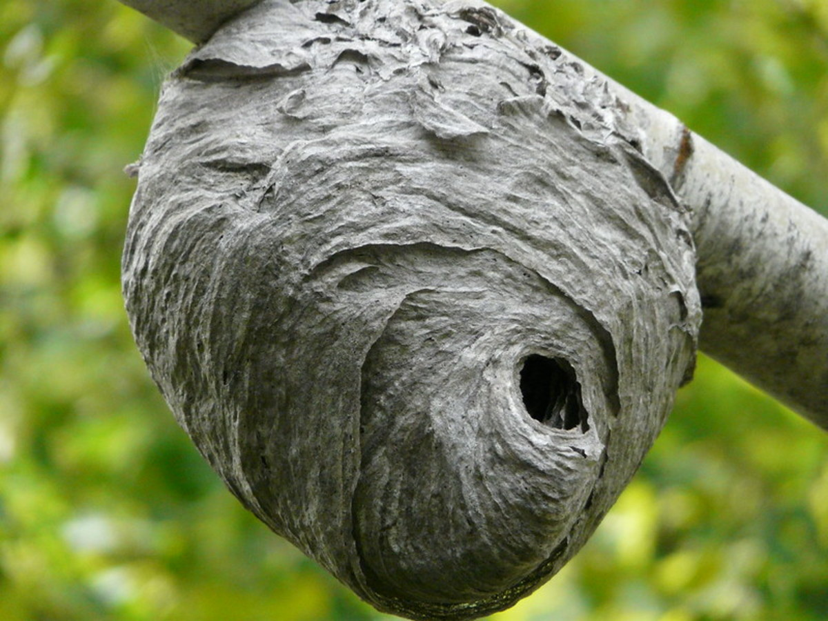 The wasp nest
