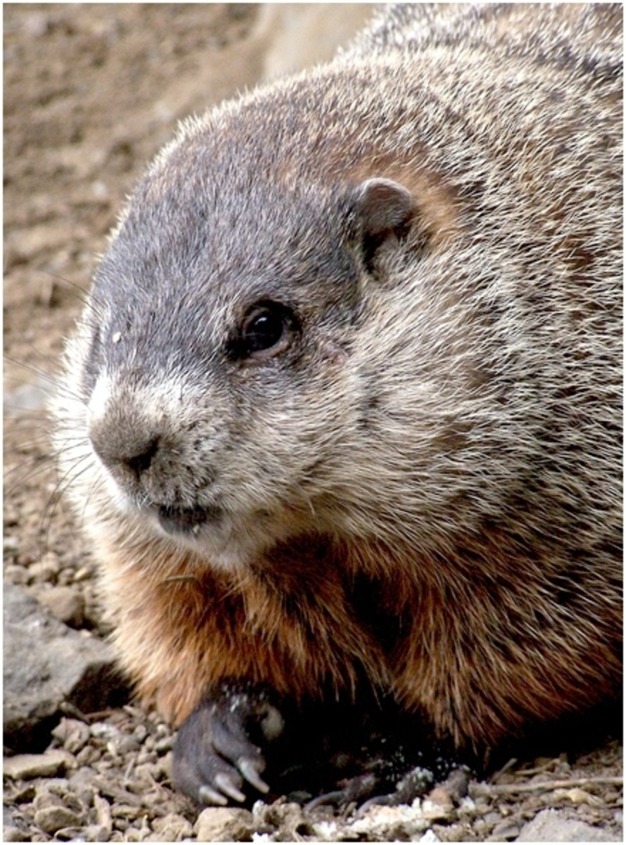 It doesn't get any cuter than a groundhog.