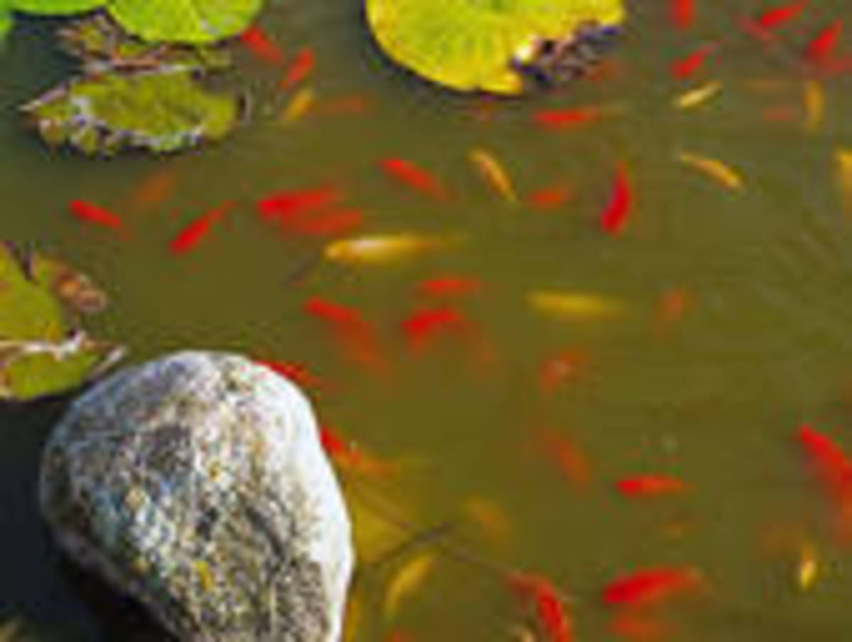 A fish pond in your back yard a how to guide to backyard for Fish suitable for small pond