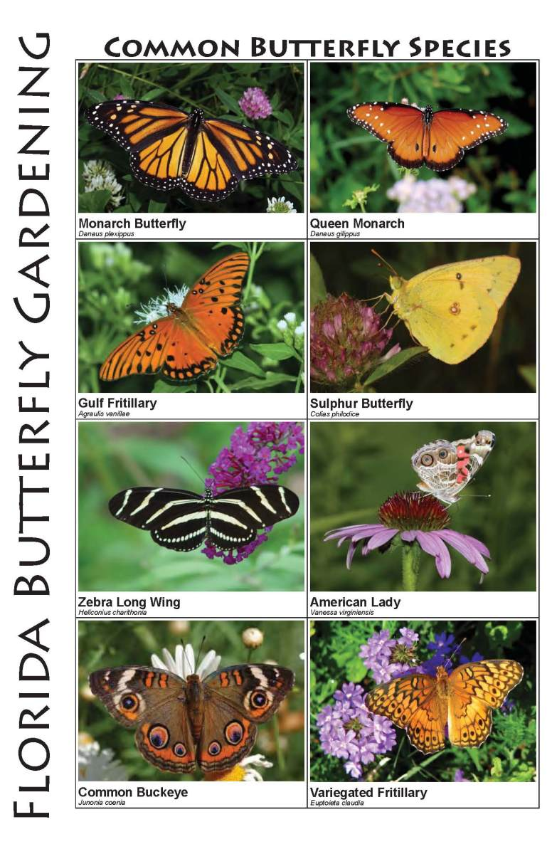 Butterflies Butterfly Plants Of Central Florida Hubpages