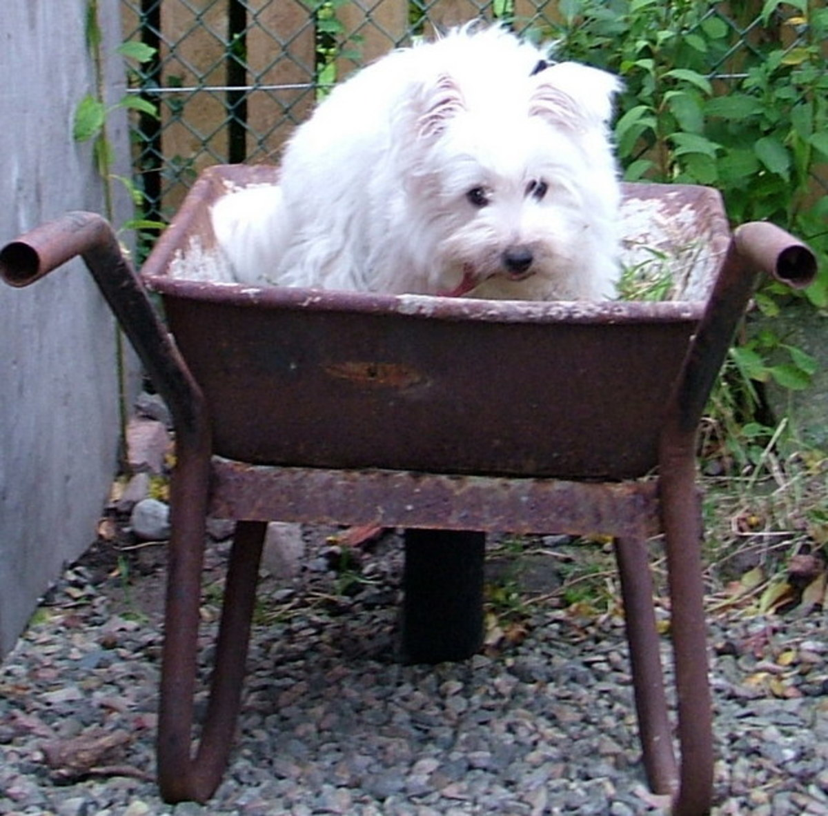 A Day in the Life of a West Highland White Terrier (Westie)