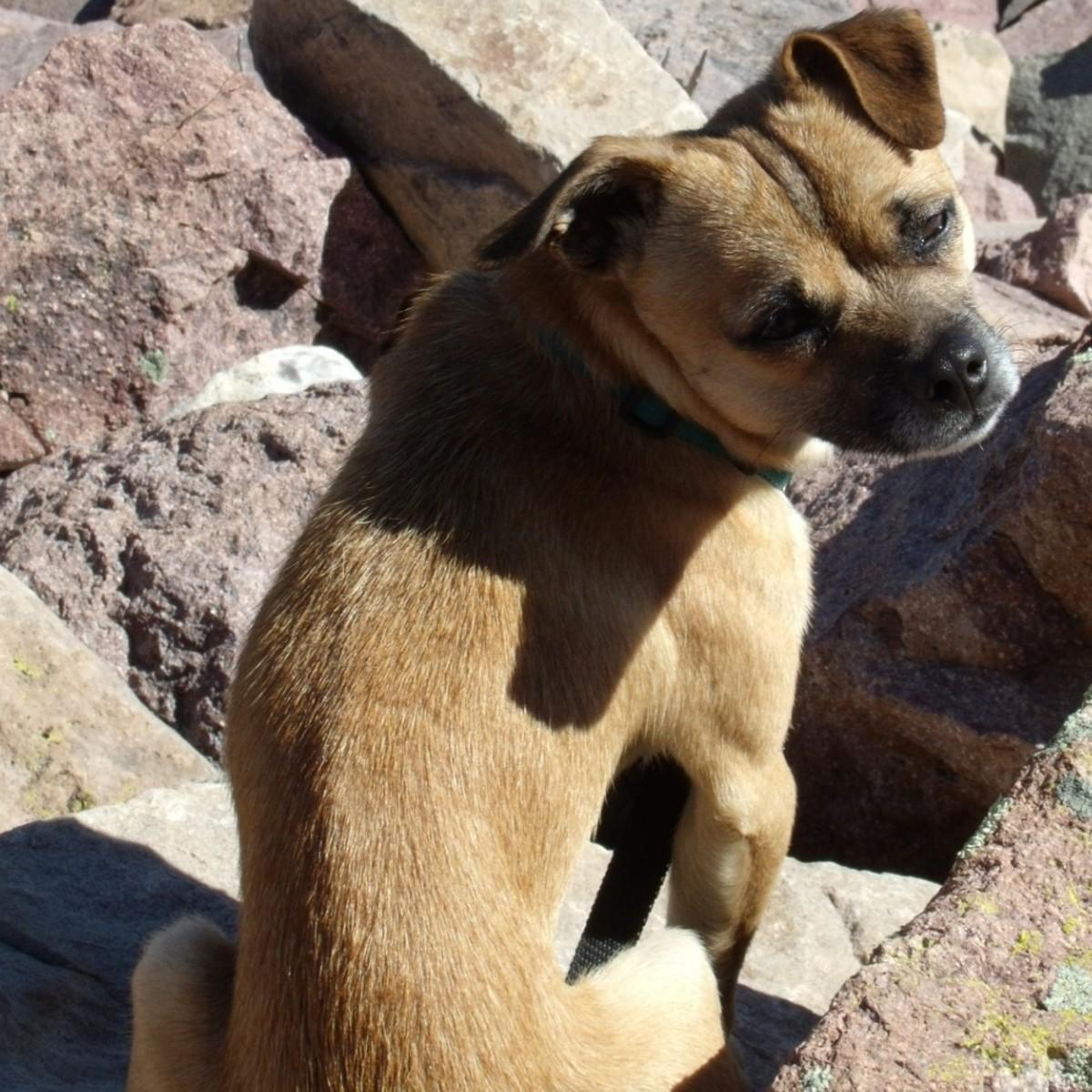 Chug: Chihuahua Pug Mix